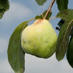 checking quince fruit on tree, Cydonia oblonga